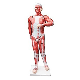 Human Anatomical Muscular Model Muscle System